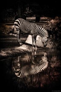 Zebra finish